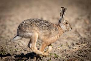Common Hare