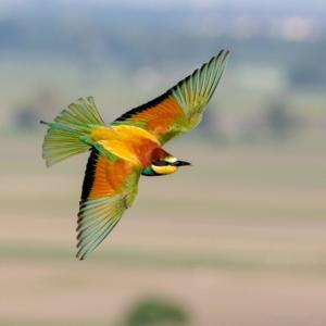 European Bee Eater in flight